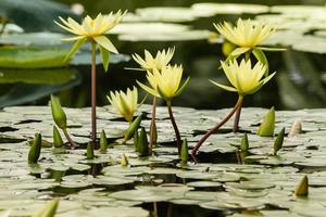 cluster of yellow water lilies