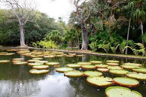 Giant water lily photo