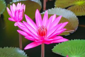 Pink Water lilly photo