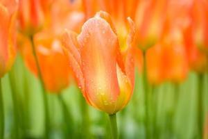 tulipanes y perlas de agua