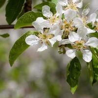 apple flower with water drops photo