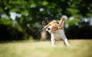 splashes of water - Beagle dog