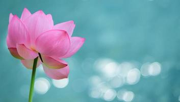 Water lily flower panoramic image