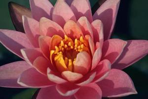 lirio de agua, loto rosa, nymphaea pubescens