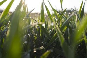 hierba verde fresca con gotas de agua foto