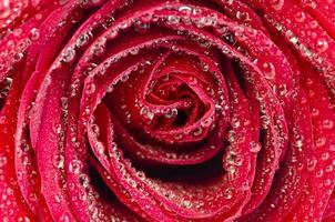 Red Rose With Big Water Droplets
