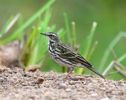beautiful immature Red-throated Pipit (Anthus cervinus) on groun