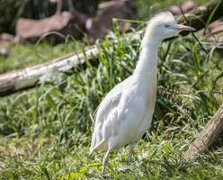 Eager young egret photo