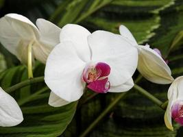 weiße Orchideen mit lila Herz