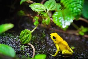 Poison Frog.