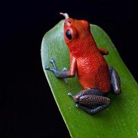 Close-up of a poisonous red dart frog on a green leaf