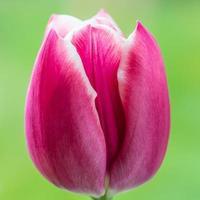 texturas de tulipán