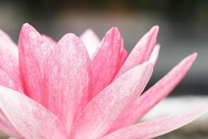 Pink water lily in pond