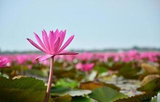 flores de loto en el lago