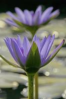 lirio de agua, loto azul de la india, nymphaea nouchali