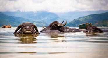 Water buffalos refreshing in Fewa lake , Nepal.