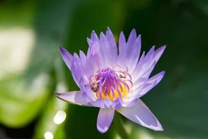 Blooming water lily photo