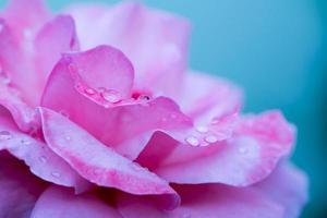 rosa rosa con gotas de agua foto