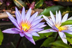 lotus blossoms or water lily flowers