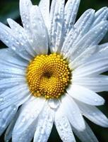flor de manzanilla con gotas de agua después de la lluvia