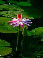 Pink Water Lily, Pink Lotus, Nymphaea pubescens
