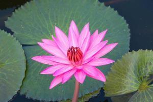 lirio de agua rosa en el estanque