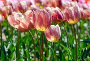 pink tulips in drops of water