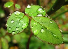 lluvia de primavera en las hojas