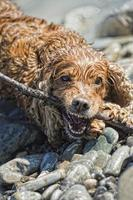 Puppy cocker spaniel playing in the water