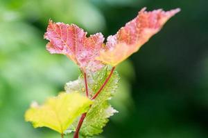 jonge bladeren