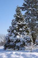 Tree in the snow photo