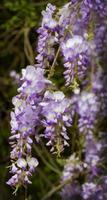 Purple and Lavender Wisteria Vines photo