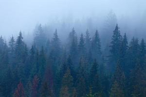 Foggy pine trees on mountain slope photo