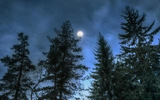 Pines at night in the woods. Moon photo