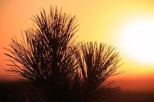 Silhouettes of pine needles