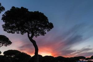 Italian sunset on the background of pines photo