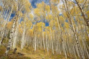 Beautiful Aspen grove in the fall