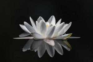 Water lily close-up photo