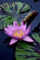 lirio de agua púrpura abierto