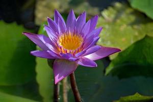 Violet Lotus flower, Nelumbo, in water