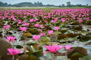 Lotus Flowers in Lake