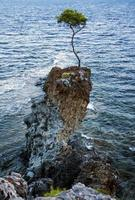 pine tree  on a rock by the sea photo