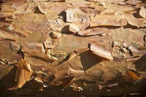 Bark of Scots Pine Tree