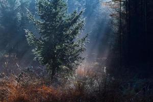 spruce tree in morning sunbeams
