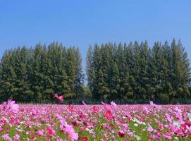 pine tree and cosmos flower  garden 5