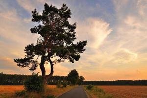 um pinheiro no pôr do sol.
