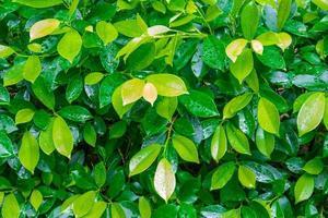 gotas de água no fundo de folhas verdes
