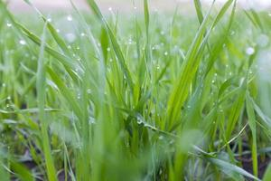 Fresh green grass with water drops photo