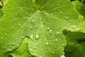 Hoja de uva con macro de gotas de agua foto