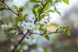 hermosas flores de cerezo blancas
